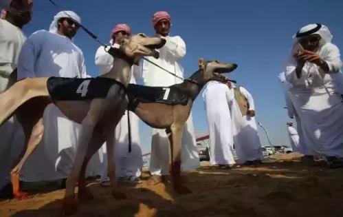 20160212002336-balap-anjing-saluki-trend-hobi-baru-para-pemuda-arab-002-dru