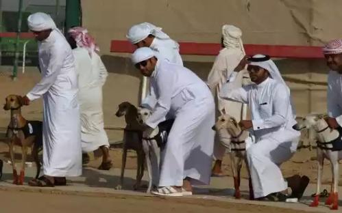 20160212002339-balap-anjing-saluki-trend-hobi-baru-para-pemuda-arab-004-dru