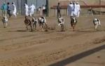 20160212002341-balap-anjing-saluki-trend-hobi-baru-para-pemuda-arab-005-dru