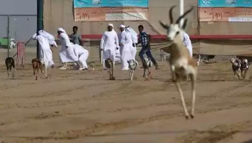 20160212002342-balap-anjing-saluki-trend-hobi-baru-para-pemuda-arab-006-dru